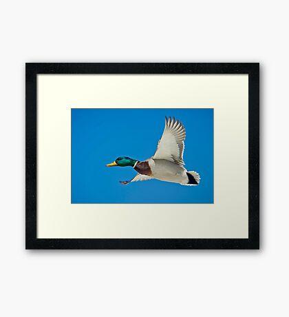 Mallard Drake  Framed Print