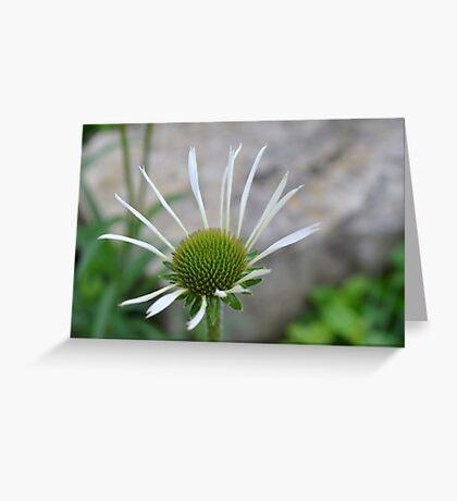 White Echinacea Flower Greeting Card