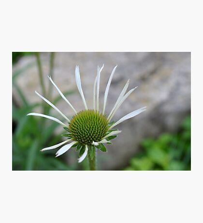 White Echinacea Flower Photographic Print