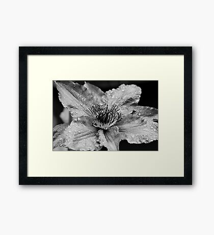Clematis in the Rain Framed Print