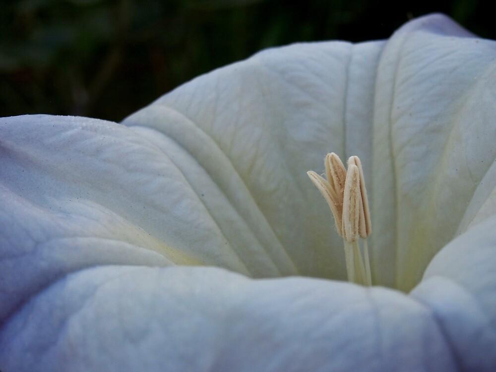 Datura Flower by Douglas E.  Welch