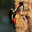 Male Great Spotted Woodpecker Feeding by kernuak