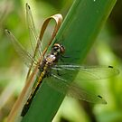 Dragonfly in June by Robin Clifton
