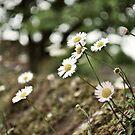 Daisy  by Debbie-Stanger