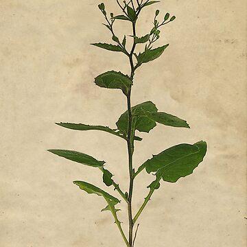 Wild Parsnip / Pastinaca Sativa by cherryannette