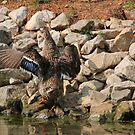 Walking On Rocks Isn't All Its Quacked Up To Be by DebbieCHayes