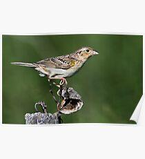 Grasshopper Sparrow Poster