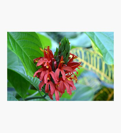 Red Tropical Flower  Photographic Print