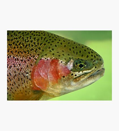 Oregon Rainbow Trout Photographic Print