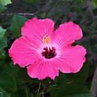 Hibiscus by Bob Hardy