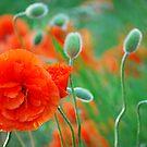 Poppy Bokeh by Robert Goulet