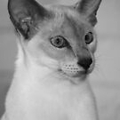 Yes I Am - Siamese by Clare McClelland