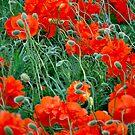 Poppy Splash by Robert Goulet