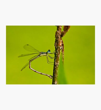 Damselfly Photographic Print