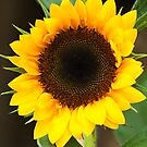 Helianthus by Ted Petrovits