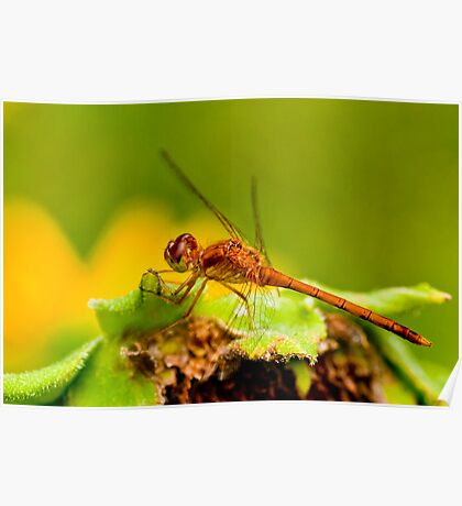 White Faced Meadowhawk Dragonfly Poster