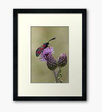 Six-spot Burnet Moth Framed Print