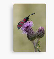 Six-spot Burnet Moth Canvas Print