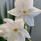 First Paperwhites 2019 by Douglas E.  Welch