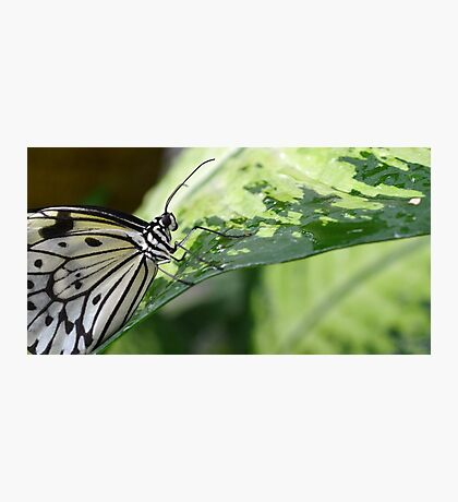 The Smiling Paper Kite Butterfly Photographic Print