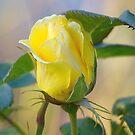 a rose for the teacher... by Allan  Erickson