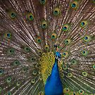 Indian Blue Peacock by BRogers