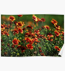 Indian Blankets Poster