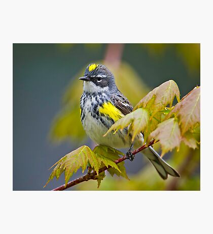 Yellow Rumped Warbler Photographic Print