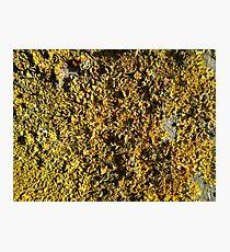 Yellow lichen field Photographic Print