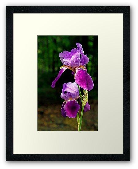 Iris in the Woods - Dunrobin, Ontario by Debbie Pinard
