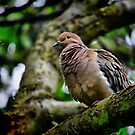 Mourning Dove by Xcarguy