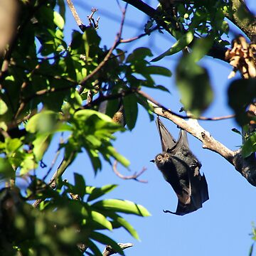 Spectacled Flying Fox by amb1946