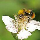 Teddy-Bee by Robert Abraham