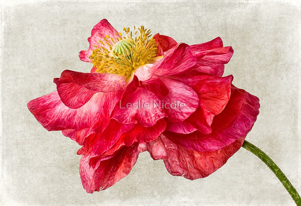 Red Double Poppy v1 by Leslie Nicole