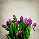 Beautiful purple tulips, lightly distressed by friendlydragon