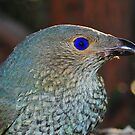 """ Satin Bowerbird "" by helmutk"