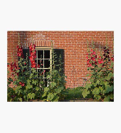 Hollyhocks in the Garden Photographic Print
