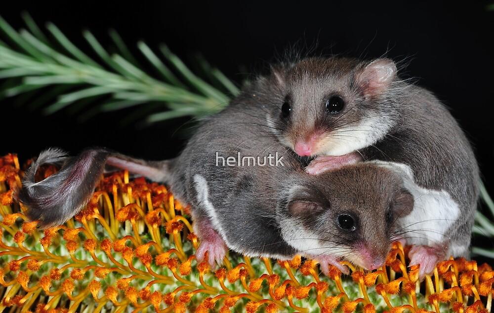 """ Smallest Gliding Mammal in the World "" by helmutk"