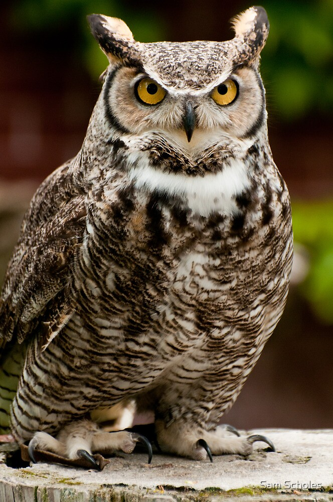 Barney the Great Horned Owl by Sam Scholes