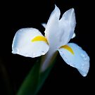 White iris by Jeffrey  Sinnock