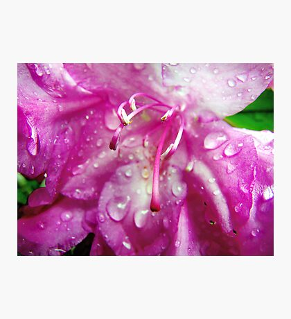 Rhododendron in the rain Photographic Print