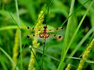 Calico Pennant Dragonfly - Male  by Marcia Rubin