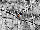 Towhee in a Tree  by Marcia Rubin