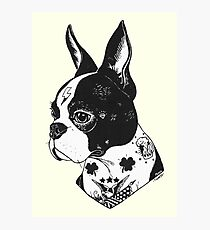 Tattooed Boston Terrier  Photographic Print