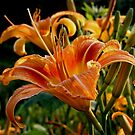 Tiger Lily  by barnsis