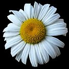 The Beauty of the Wild White Daisey. by barnsis