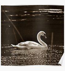 Swan at Wrest Park ~ Bedfordshire, England ~ 2011 Poster