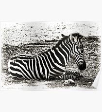 Baby Zebra Poster
