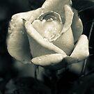 Rose after a spring shower by MLabuda
