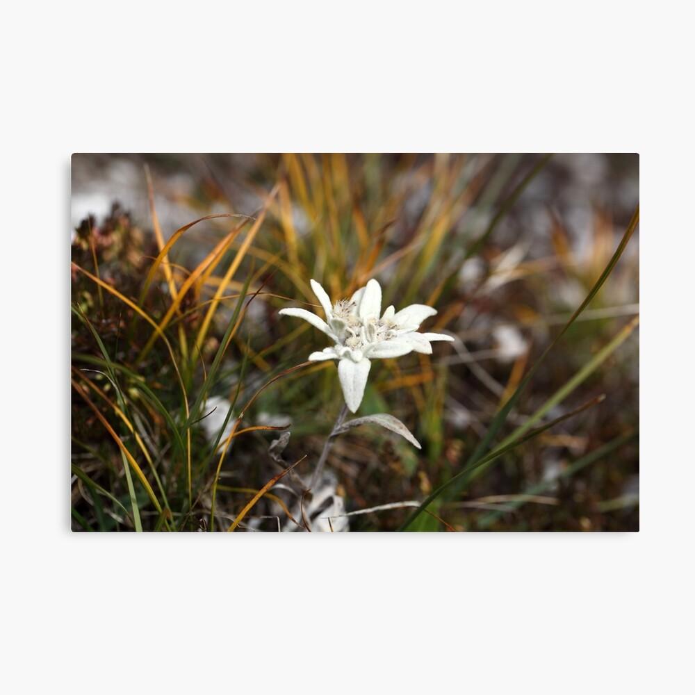 Alpine Edelweiss Canvas Print